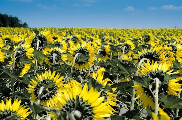 sunflower-175821_640